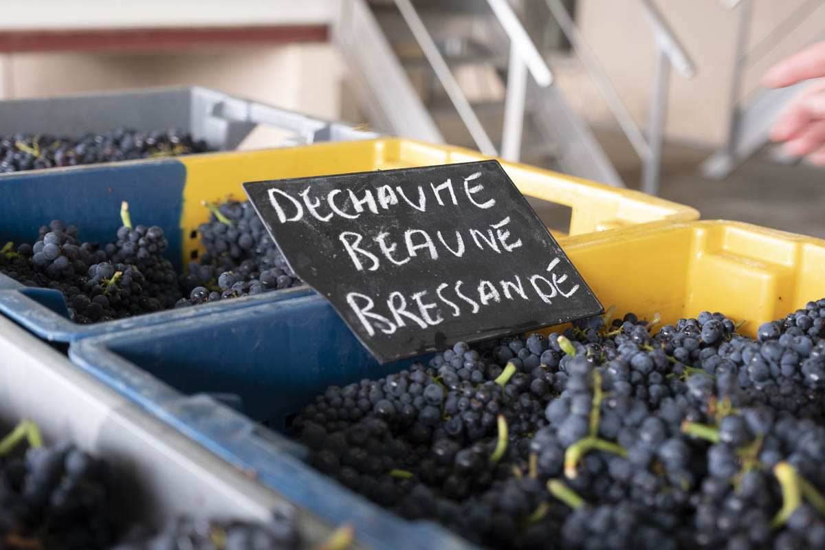 Start of harvest 2020 at the Domaine des Hospices de Beaune – first pictures